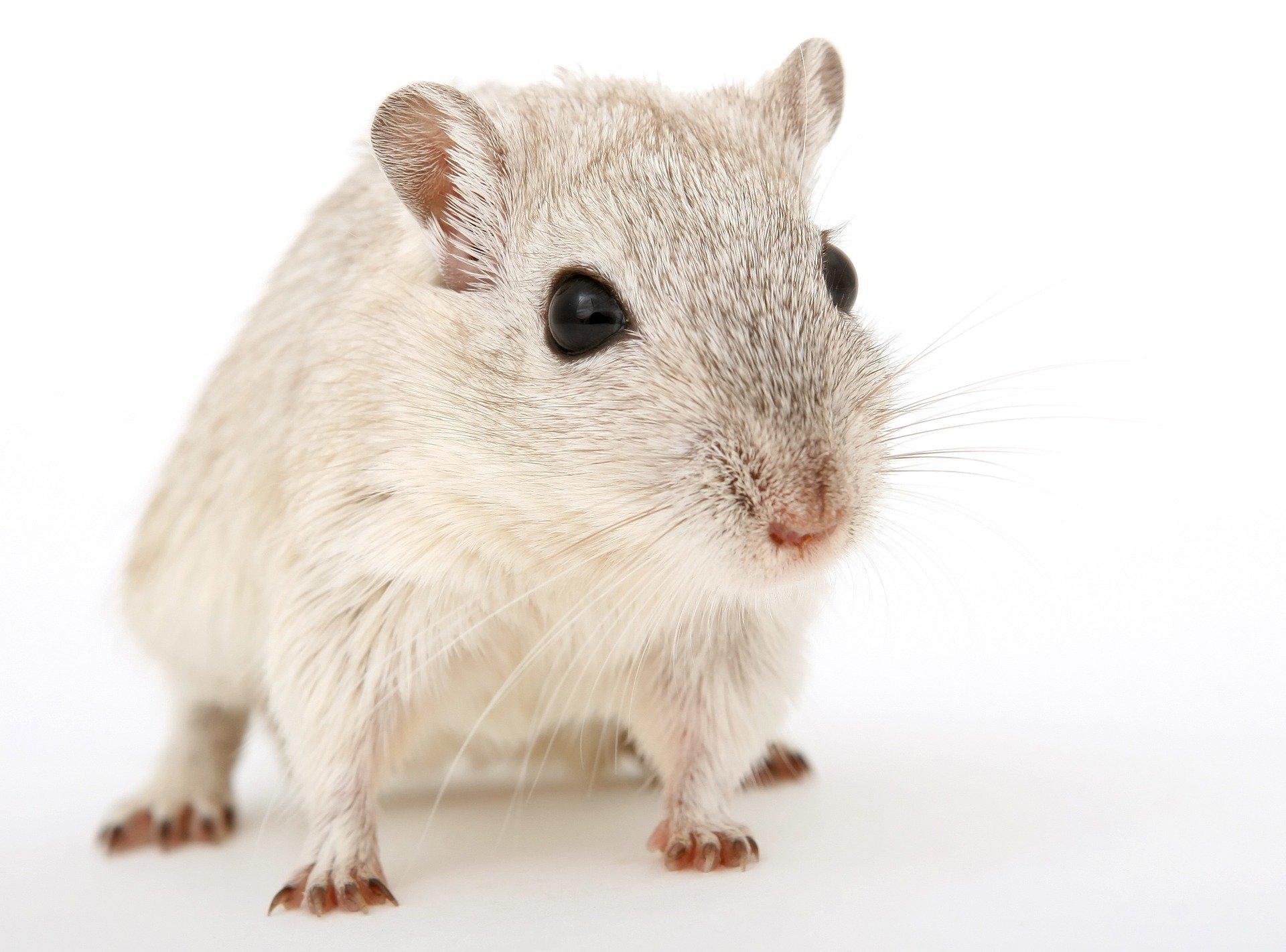 Sind Wissenschaftler, die studieren, die falsche Art von Mäusen?