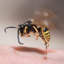 Forscher entdeckten neues Antibiotikum aus Wespengift