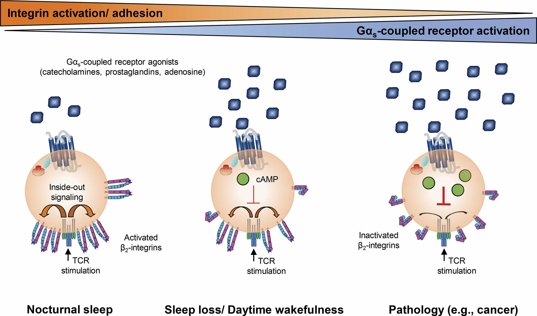Forscher entdecken, wie Schlaf kann die Infektion kämpfen