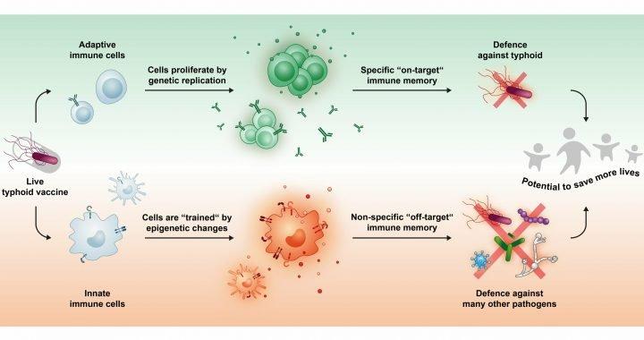 Typhus-Impfstoff kann gegen andere Infektionen zu schützen