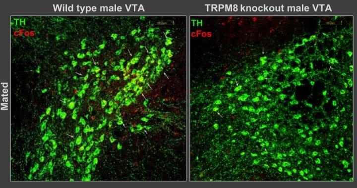 Sex und aggression bei Mäusen gesteuert durch Kälte-sensor im Gehirn