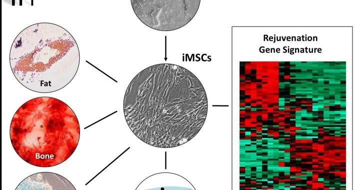Menschliche iPSC-derived MSCs älterer Personen erwerben, die eine Verjüngung Signatur