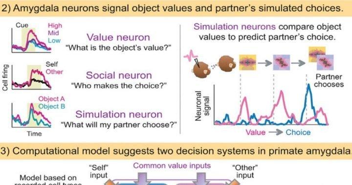"""'Mindreading"""" Neuronen in der Lage, Erwartungen über das Verhalten der anderen"""
