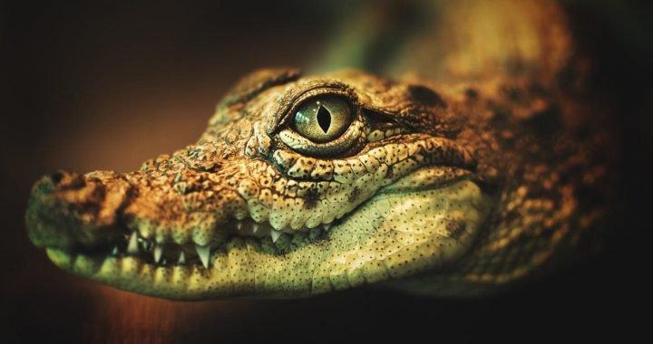 """Krokodil, die russische """"Fleisch-Essen"""" Drogen, macht eine seltene Erscheinung in Australien"""