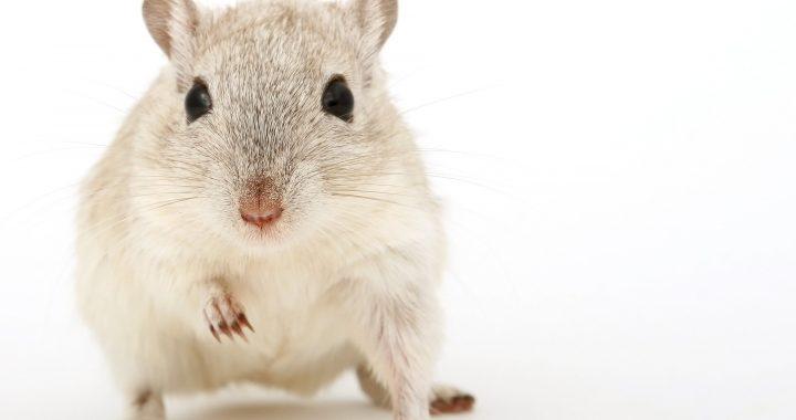 Darm-Mikroben schützen vor neurologischen Schäden von viralen Infektionen