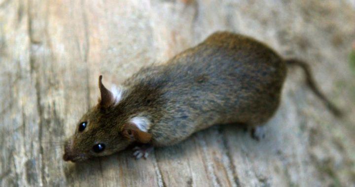 Kommt auf jeden Einwohner eine Ratte?