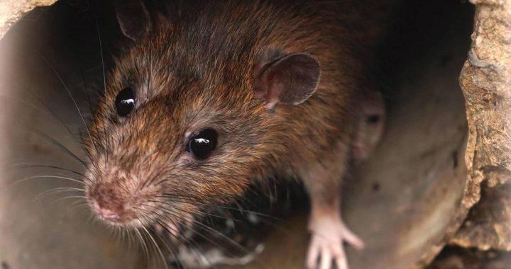 Nach Parasit-Fund auf Mallorca: Wie gefährlich ist der Rattenlungenwurm?