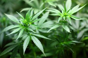 Forschung zeigt Reale Risiken im Zusammenhang mit cannabis-Exposition während der Schwangerschaft
