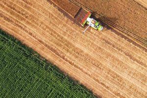 Weizen ist extrem hochgezüchtet – ein Protein macht ihn zum Hochrisiko-Lebensmittel