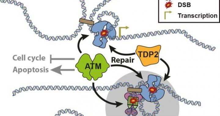 Die Forscher zeigen, dass die DNA-topologische Probleme verursachen kann Lymphom