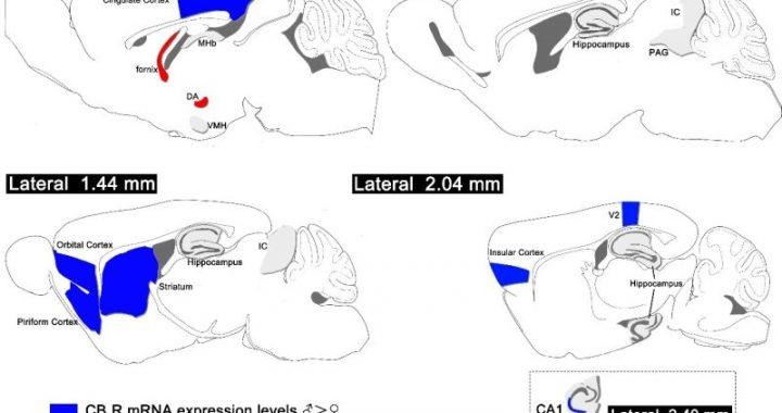 Wissenschaftler finden Geschlechtsunterschiede in der cannabinoid-1-rezeptor-expression in Mäusen