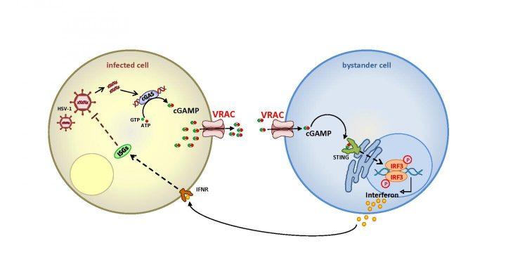 Ion channel VRAC verbessert die Immunantwort gegen Viren
