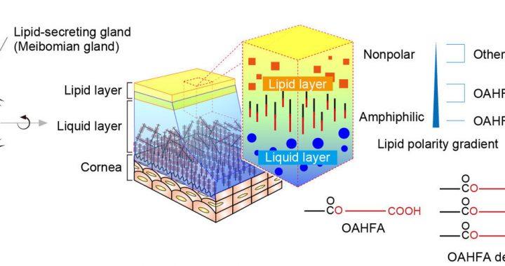 Forschung zeigt, die lipid-gradient hält, dass Ihre Augen nass