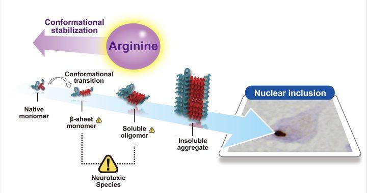 Arginin ist eine mögliche krankheitsmodifizierende Medikament für polyglutamine disease