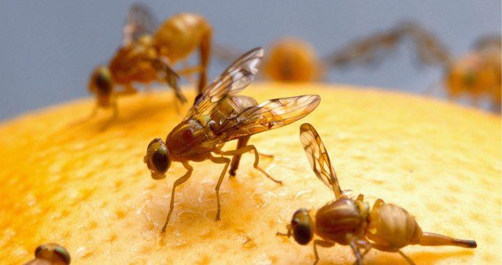 Forscher entdecken Mechanismen des Gehirns in Fruchtfliegen, die Auswirkungen auf die Zukunft zu lernen